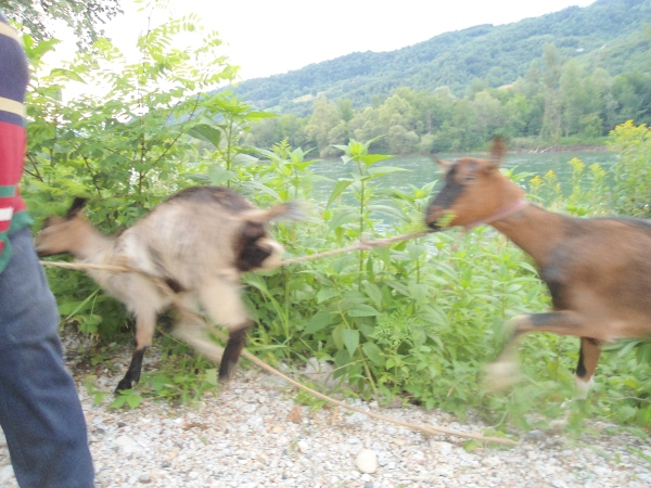 goats blurry